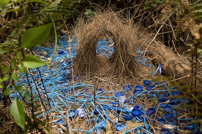 A Satin Bower Bird's nest decorated with bottle caps and straws. Borrowed from Lulie and Marie's Blog
