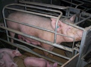 Source: http://www.aact.org.au/pig_industry.htm